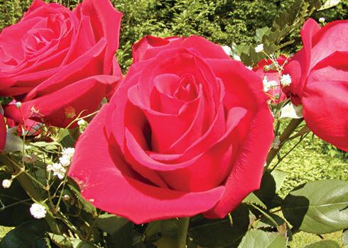 tinh dầu Hoa hồng ngoài ý nghĩa là sứ giả tình yêu còn có tác dụng chữa bệnh.
