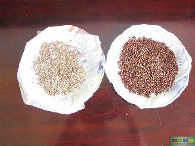 hạt giống xà lách, cải xanh nẩy mầm sau 12 giờ ủ