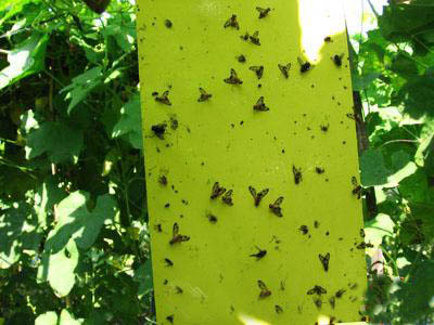 Dùng bẫy pheromone để diệt côn trùng thay thế cho việc sử dụng thuốc BVTV