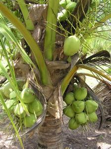 Trái dừa bị điếc chủ yếu là do sự thụ tinh không hoàn toàn