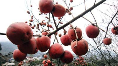 cây  hồng rụng quả non