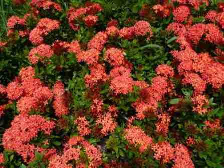 xử lý cây kiểng ra hoa