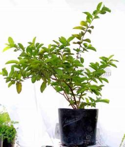 rụng quả non là hiện tượng thường gặp khi trồng cây ăn trái tại nhà