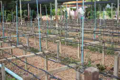 trồng lan kiểu Thái