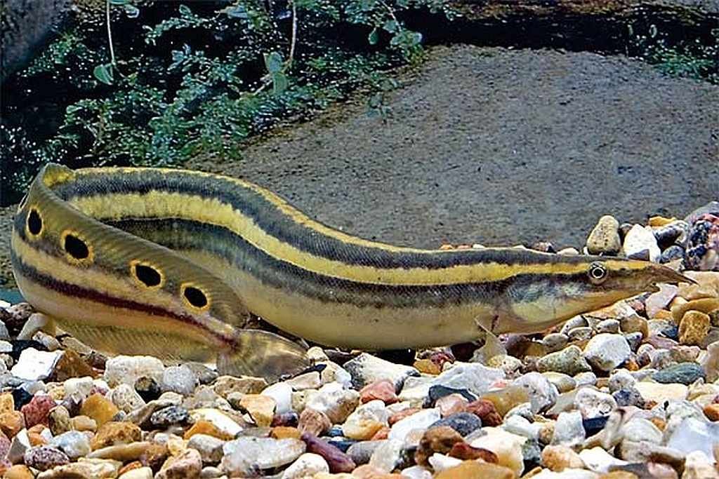 What Do Tire Track Eels Eat
