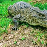 Cuban Crocodile of Zapata - Tropical Cuban Holiday Wild Nature
