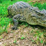 Cuban Crocodile of Zapata - Tropical Cuban Holiday Wild Nature