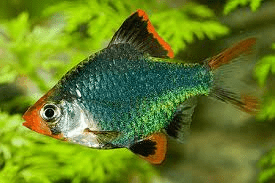 Image result for green tiger barb