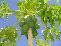 Growing Papaya