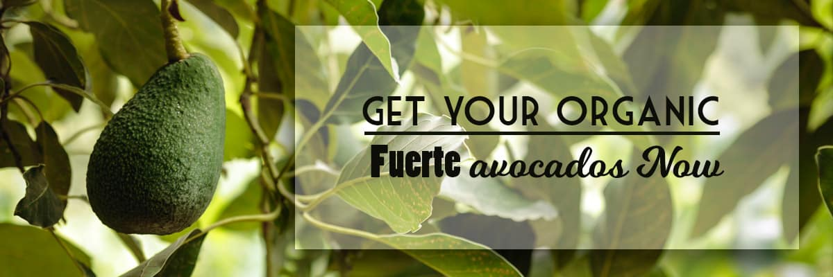Buy Organic Fuerte avocados