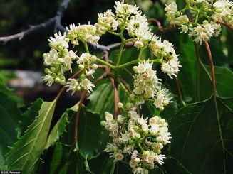 Japon Kuru Üzüm Ağacı - Hovenia Dulcis