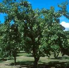 Çikolata Meyvesi Ağacı