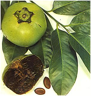 Çukulatalı Puding Meyvesi