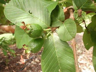 Guava İlk Safha