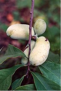 pawpawfruit
