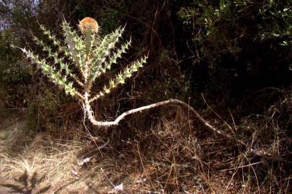 PLANTA EN EL PARQUE NACIONAL SIMIEN MOUNTAINS