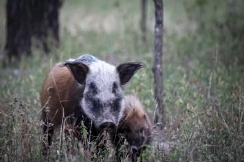 Liwonde National Park: Bushpigs