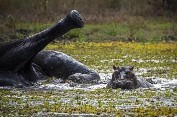 Op Safari in Malawi: Olifant met nijlpaard in een waterpoel