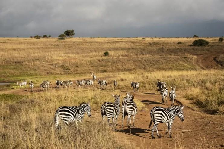 Kudde Zebra's in Nairobi National Park