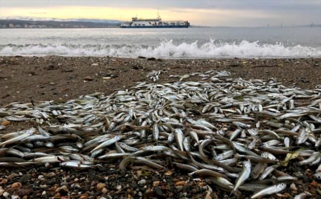 Çanakkale'de balık ölümleri korkuttu
