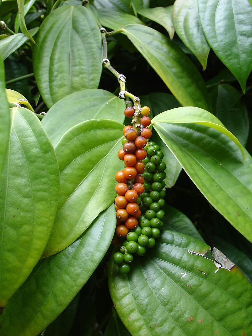 Green and ripe black pepper berries hanging from a tree.
