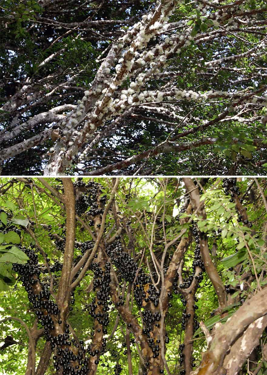 Jabuticaba growing on a tree.