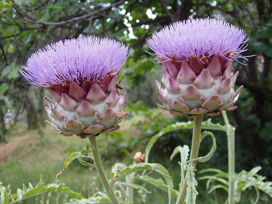 Flowering artichokes.