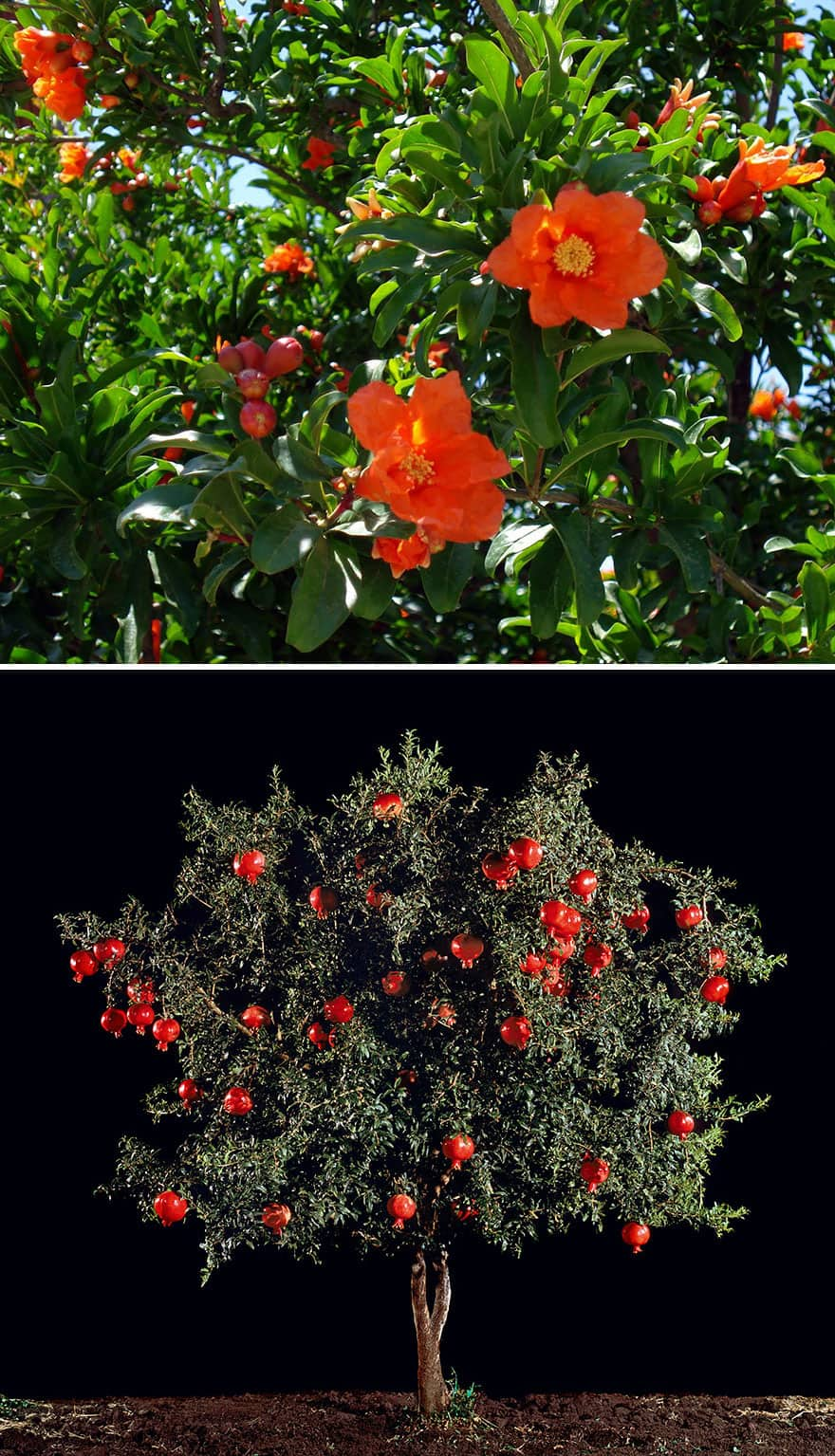 Pomegranate blossoms and fruit growing on trees.