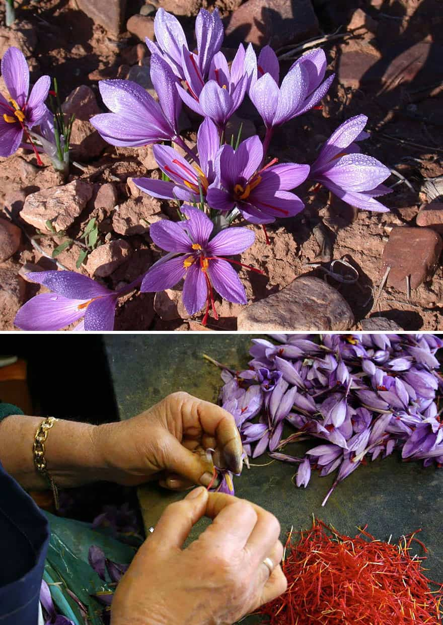 Saffron being harvested by hand.