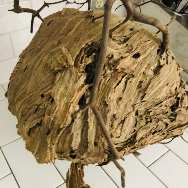Fantastic Natural Hornets Nest attached to branch Naturally made farmhouse cabin lodge collectible display curiosity curiosities Nature