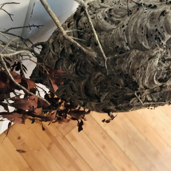 Fantastic Natural Hornets Nest attached to branch with Leaves Naturally made farmhouse cabin lodge collectible display curiosities Nature