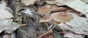 Resultado de imagen para Psilocybe caerulipes