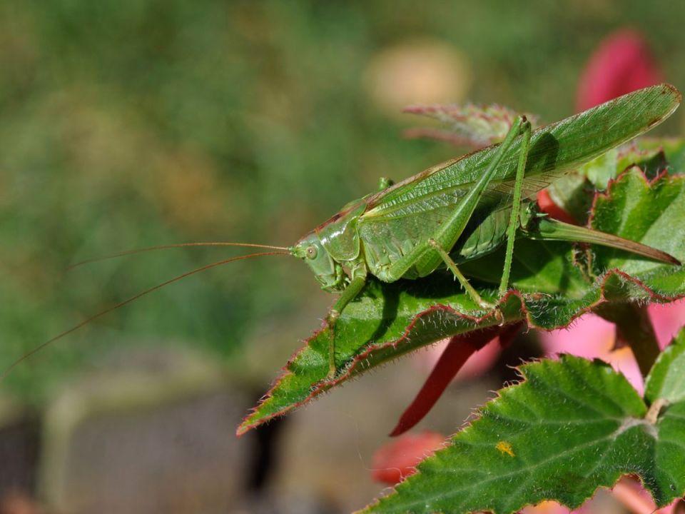 Grande sauterelle verte femelle