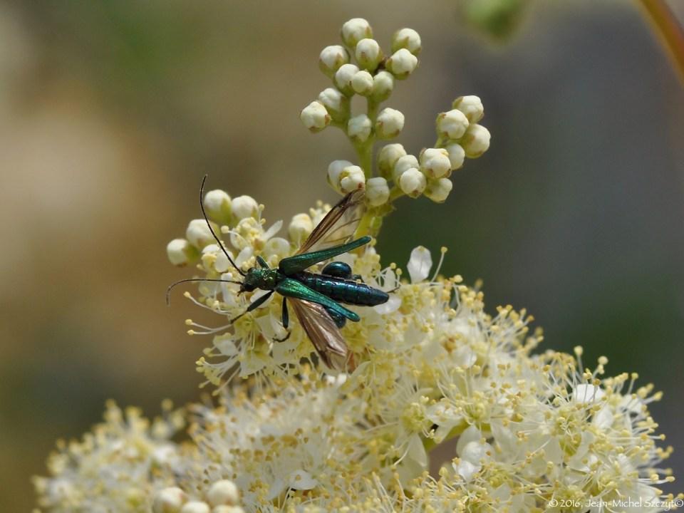 Oedémère noble ( oedomera nobilis) sur Reine des prés.