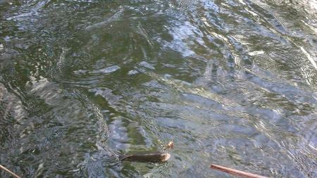 Captura de truta no Rio Mouro - 17 cm