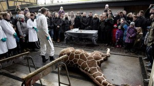 Marius, a male giraffe, lies dead before being dissected,. Photo: AP