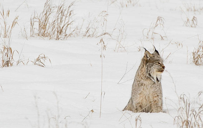 wild fur, trapping, nature, bobcat, lynx