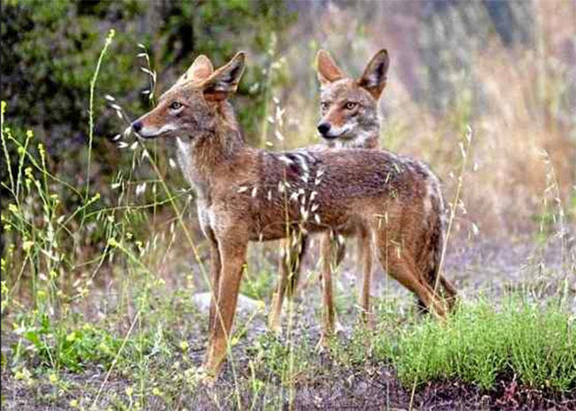 trapping, coyotes, california, dog attack