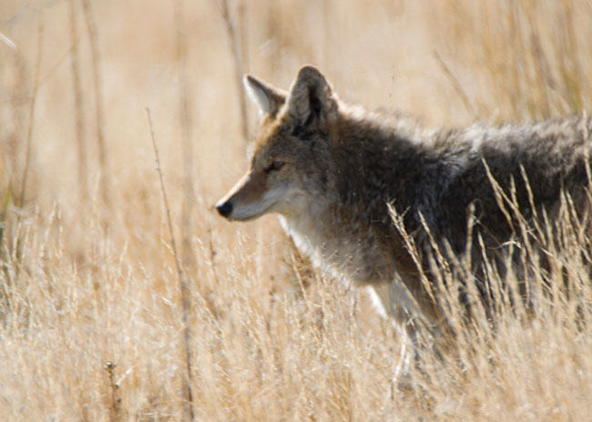 sustainable fashion means wearing coyote fur