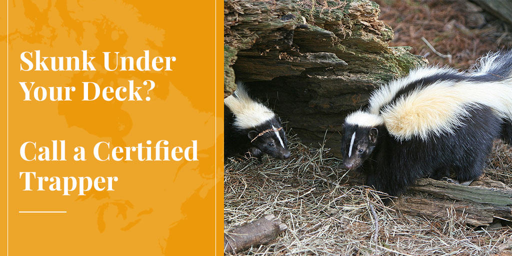 certified trapper can trap skunk