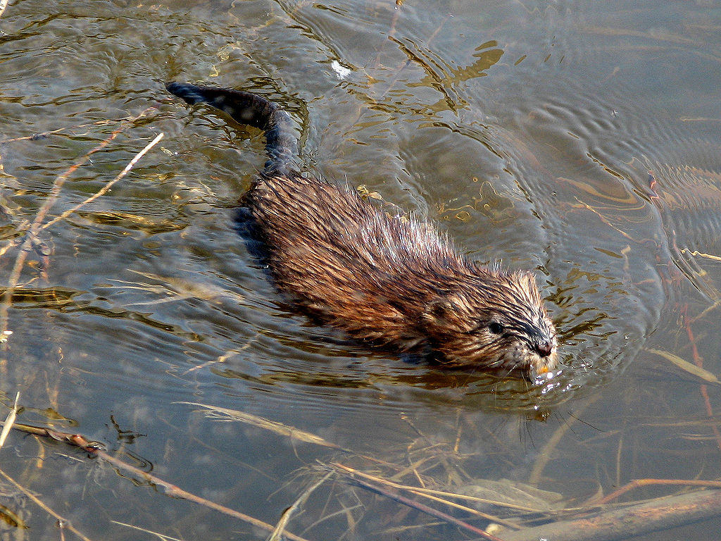 muskrats have naked tails