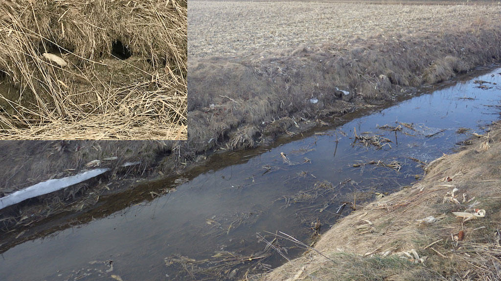 muskrat trapping on drainage channel bank