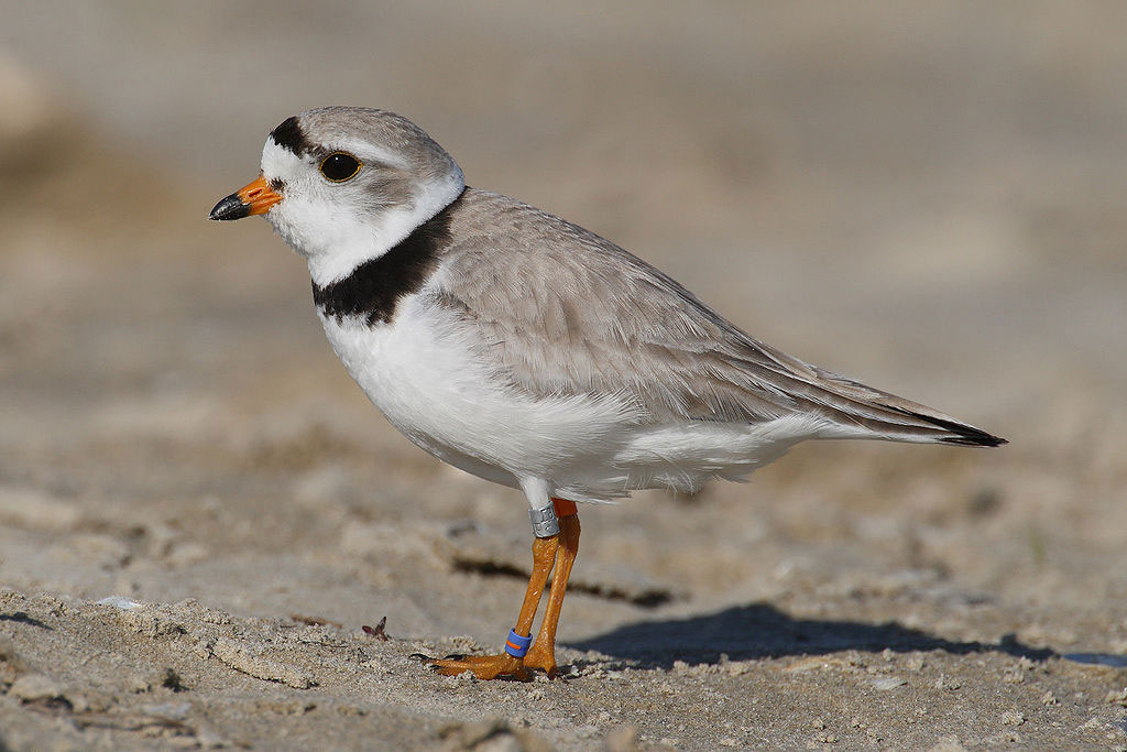 wild furbearers threaten piping plover