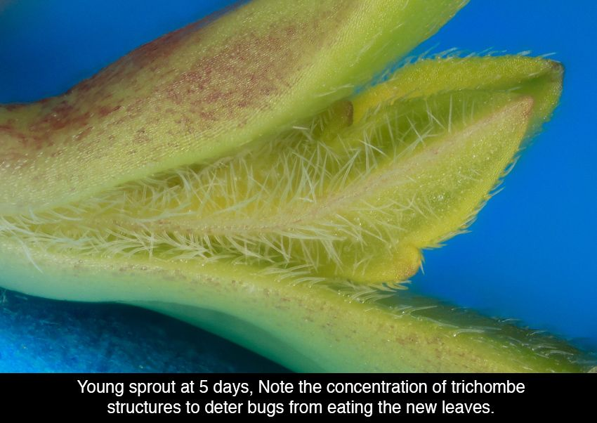Young Cannabis Sprout Under The Microscope