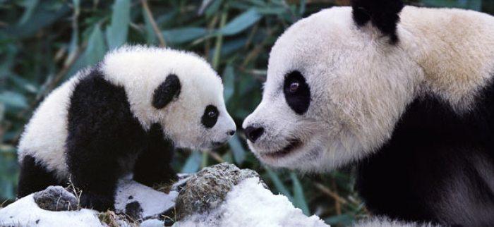 pandas-baby