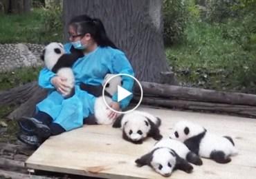 Hugging Baby Pandas
