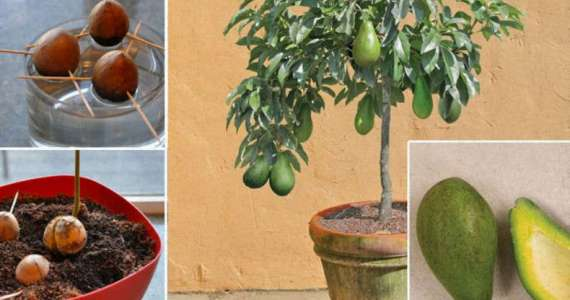 stop-buying-avocados-heres-how-to-grow-an-avocado-tree-in-a-small-pot-at-home