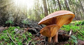 medicinal-mushrooms-ancient-knowledge-modern-healing-reishi1