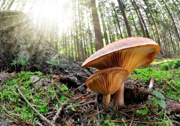 medicinal mushrooms-ancient-knowledge-modern-healing-reishi1