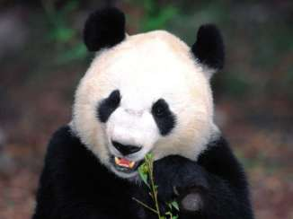China's Great Panda